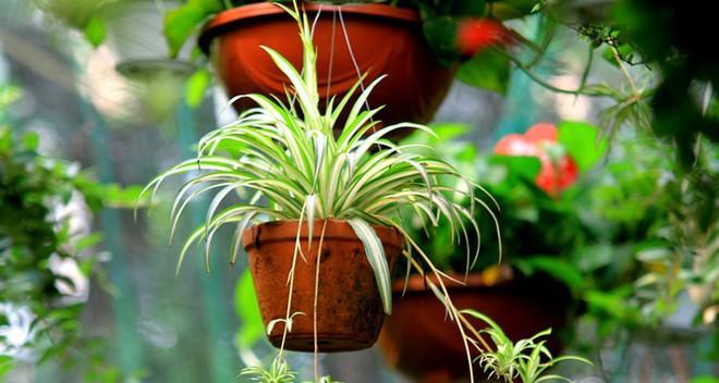 Muốn nhà sạch sẽ, trong lành lại may mắn, phát tài đừng bỏ qua các loại cây phong thủy sau - Ảnh 3.