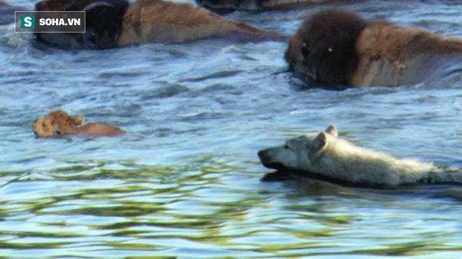 Qua sông thì đuối sức, bò Bizon con bị chó sói tấn công: Bò mẹ quay lại nhìn thấy cảnh gì? - Ảnh 1.