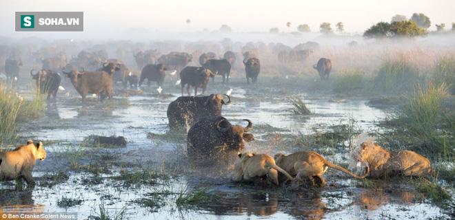 Trâu rừng đối đầu sư tử. Nguồn: Ben Cranke