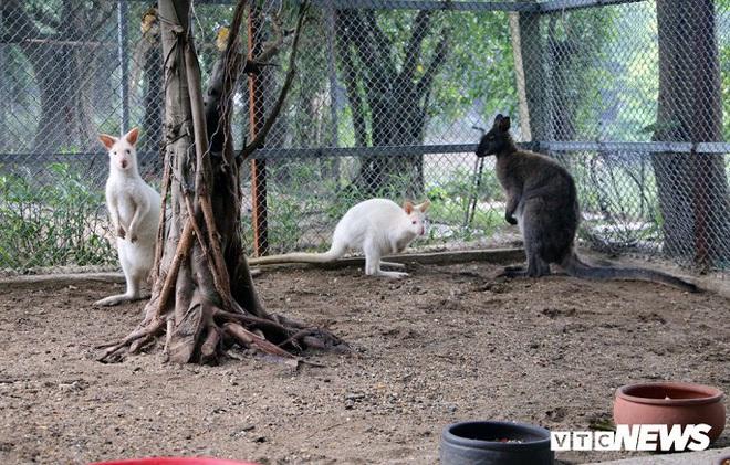 Ảnh: Ngắm đàn Kangaroo mini lần đầu tiên xuất hiện tại Việt Nam - Ảnh 1.