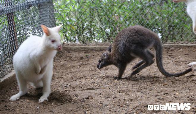 Ảnh: Ngắm đàn Kangaroo mini lần đầu tiên xuất hiện tại Việt Nam - Ảnh 3.