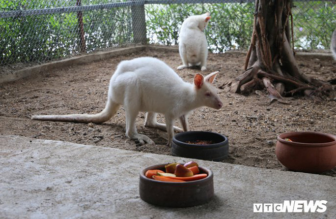Ảnh: Ngắm đàn Kangaroo mini lần đầu tiên xuất hiện tại Việt Nam - Ảnh 4.