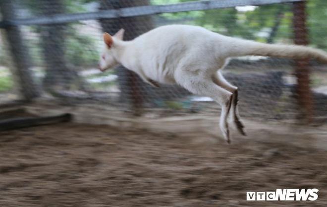 Ảnh: Ngắm đàn Kangaroo mini lần đầu tiên xuất hiện tại Việt Nam - Ảnh 7.