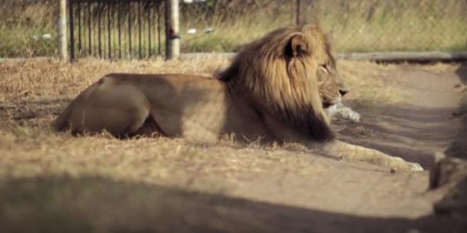 Thiên tài vượt ngục của giới động vật, phá cửa chuồng để vào hành hung sư tử - Ảnh 3.
