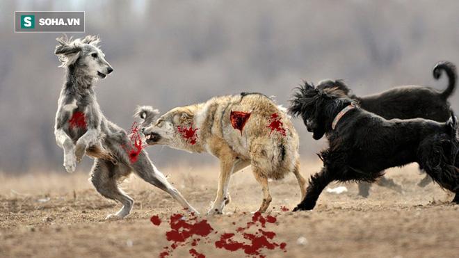 Chó sói đơn độc bị bầy chó săn dồn tới đường cùng và trận chiến nảy lửa - ảnh 1