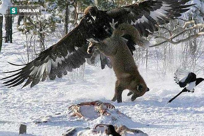 Đại bàng tấn công chó sói. Nguồn: Pinterest