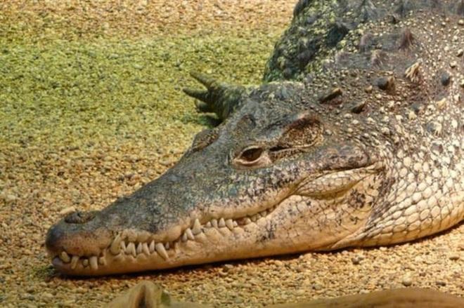 Kiểm lâm thoát chết trước hàm cá sấu khi chọc mù mắt con vật - Ảnh 1.