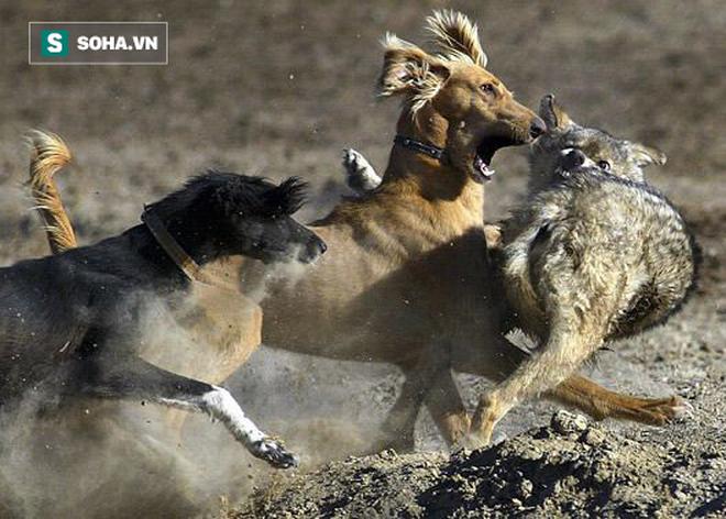 Chó sói chậm chân, bị bầy chó săn đuổi kịp và cắn xé không thương tiếc - Ảnh 1.