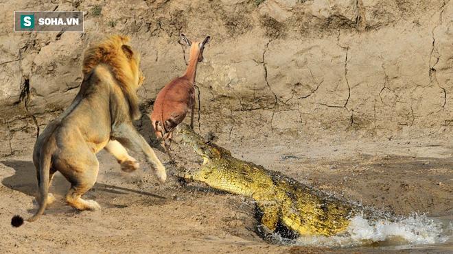 Sư tử định cướp mồi ngon của cá sấu. Ảnh: Pinterest