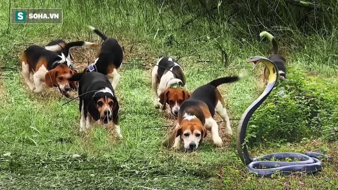 Hổ mang bị 5 chó nhà bao vây, cắn xé: Nọc độc có giúp nó thoát chết? - Ảnh 1.
