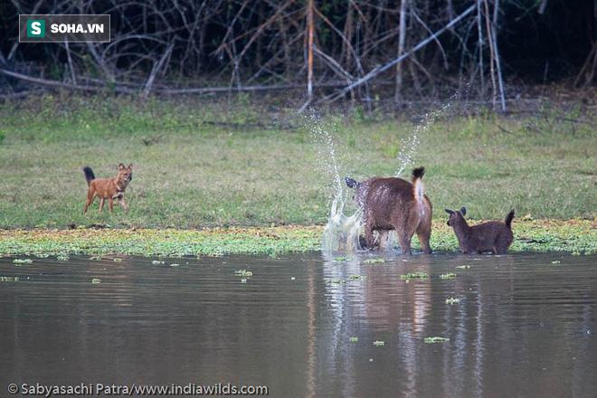Hươu mẹ bảo vệ con khỏi bầy sói lửa hàng giờ liền: Sự kiên trì có được đền đáp? - Ảnh 1.