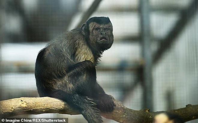 Chú khỉ mặt người đau khổ vì 'ế bền vững' suốt 19 năm