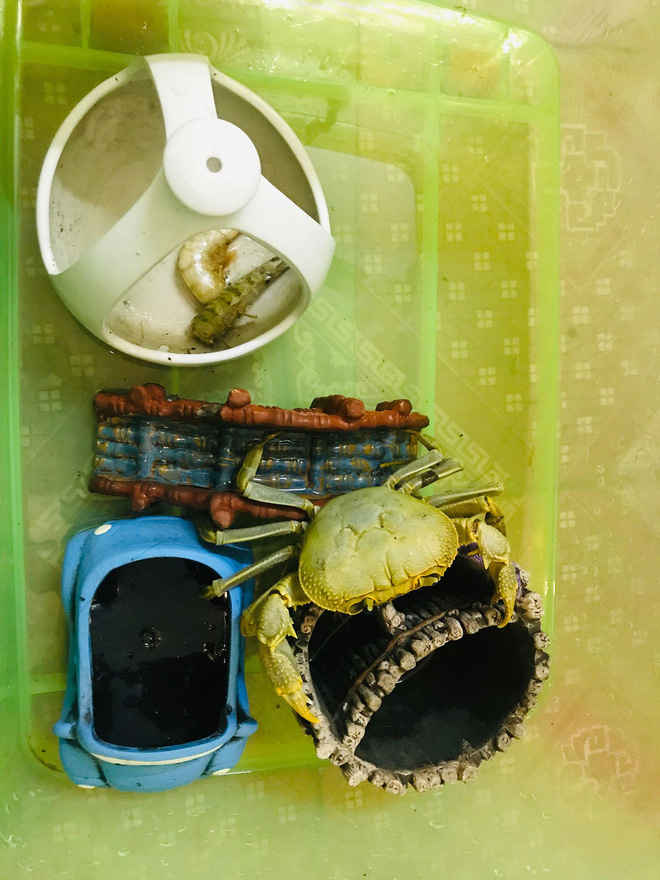 Quá trình nuôi cua đá như thú cưng của cô gái Nam Định: 2 lần thoát khỏi nồi đã thành cái duyên - ảnh 4
