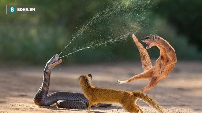 Hổ mang và cầy mangut đánh nhau đến thâm tím mặt mày: Chiến quả bất ngờ! - Ảnh 1.