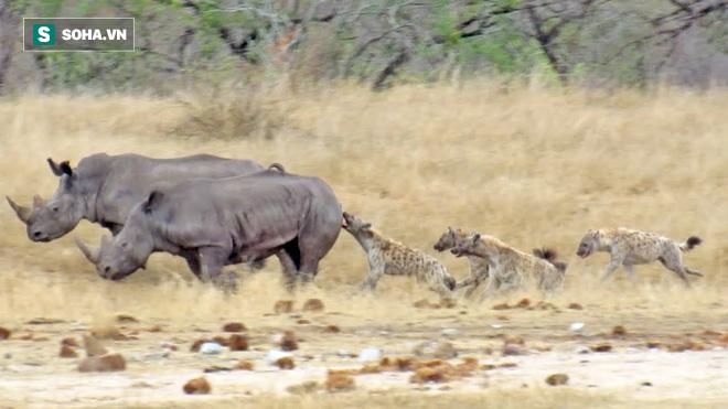 Tê giác bị bầy linh cẩu đeo bám tấn công dù được 2 con tê giác khác bảo vệ: Lý do là gì? - Ảnh 1.