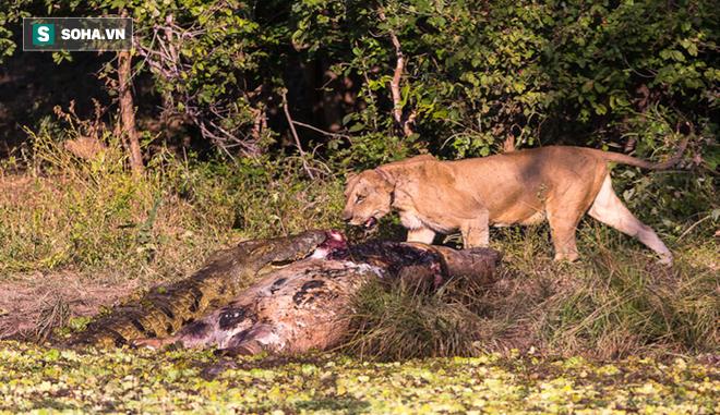 Sư tử đang ăn thịt trâu thì cá sấu đến dự tiệc: Phản ứng của nhà vua là gì? - Ảnh 1.