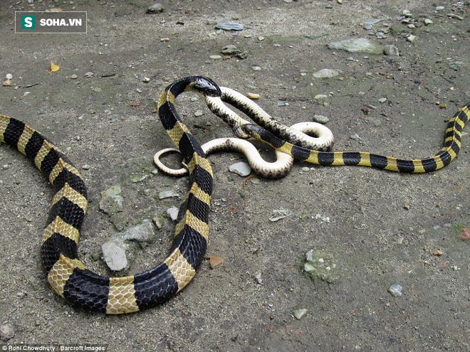 Được xếp vào tứ đại nọc độc, rắn cạp nia vẫn bị loài vật này tấn công tới tấp - Ảnh 1.