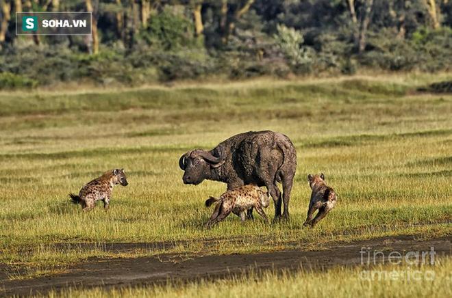Hai mẹ con nhà trâu bị linh cẩu bao vây: Trâu mẹ có hành động rất bất ngờ ở phút cuối - Ảnh 1.