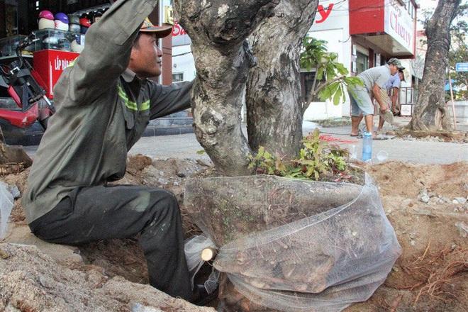 Vì sao hàng loạt cây xanh trên đường phố Đông Hà bị đốn hạ? - Ảnh 5.
