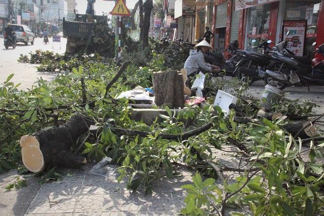 Vì sao hàng loạt cây xanh trên đường phố Đông Hà bị đốn hạ? - Ảnh 6.