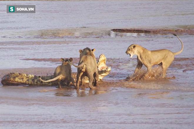 3 đánh 1: Cá sấu bị quây giữa bầy sư tử, trận chiến nảy lửa sẽ kết thúc ra sao? - Ảnh 1.