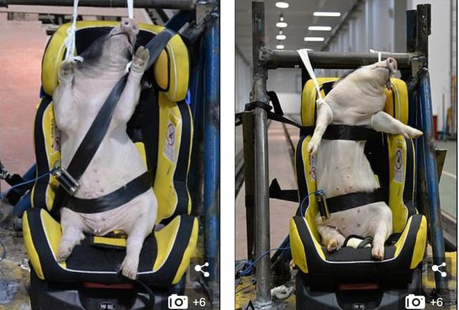 Phẫn nộ cảnh dùng lợn sống làm hình nộm thử tai nạn xe hơi tại Trung Quốc - Ảnh 1.