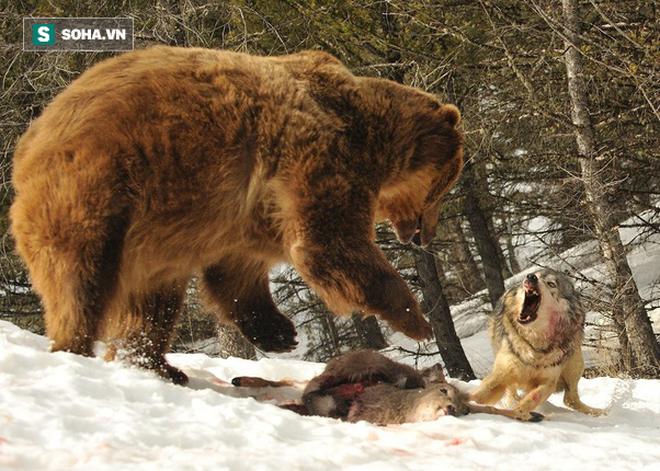 Gấu xám một mình cân cả bầy chó sói 14 con để cướp thức ăn: Kết quả ra sao? - Ảnh 1.