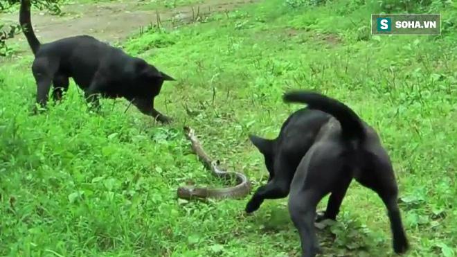 Hổ mang phùng mang trợn mắt vì bị 2 con chó dữ bao vây, liệu nó có thoát chết? - Ảnh 1.
