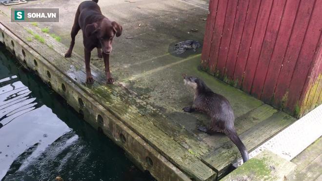 Rái cá một mình chiến đấu với 4 chó nhà, pha xử lý thông minh giúp nó thoát chết - Ảnh 1.