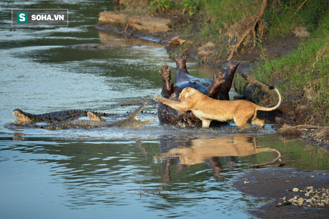 Sư tử tấn công cá sấu. Ảnh: Pinterest