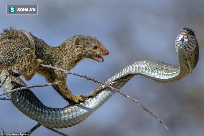 Chẳng ngán cả Mamba đen nhưng cầy Mangut lại sợ loài rắn độc bậc nhất châu Phi này - Ảnh 1.