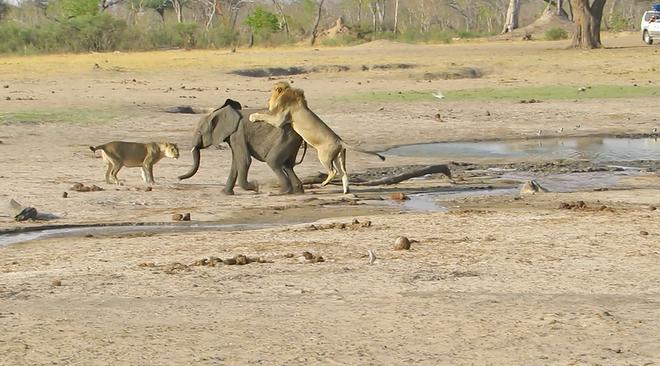 """Sư tử """"ranh mãnh"""" thực hiện cú lừa ngoạn mục đoạt mạng voi con - Ảnh 3."""