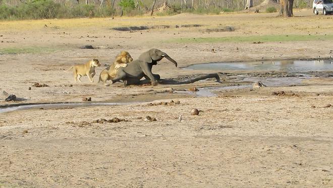 """Sư tử """"ranh mãnh"""" thực hiện cú lừa ngoạn mục đoạt mạng voi con - Ảnh 4."""
