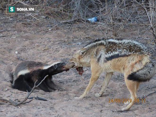 Vừa được sói giải cứu khỏi kẻ thù, lửng mật điên cuồng đánh giết, trả thù trăn - Ảnh 1.