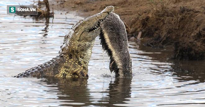 Gan cùng trời, lửng mật hung hăng tấn công luôn cả cá sấu - Ảnh 1.