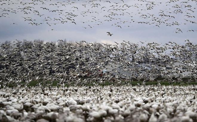 24h qua ảnh: Hàng nghìn con ngỗng tuyết bay tới thung lũng ở Mỹ