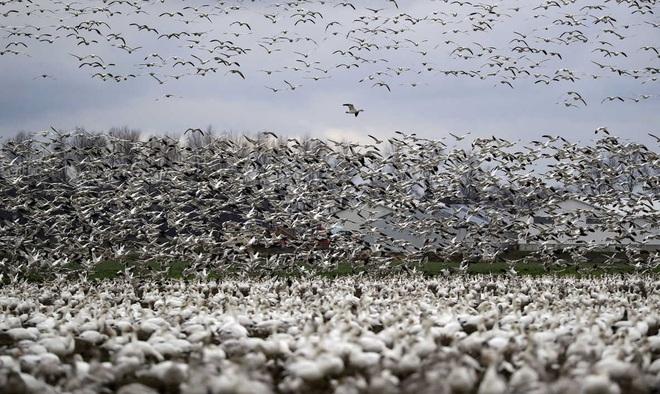 24h qua ảnh: Hàng nghìn con ngỗng tuyết bay tới thung lũng ở Mỹ - Ảnh 4.