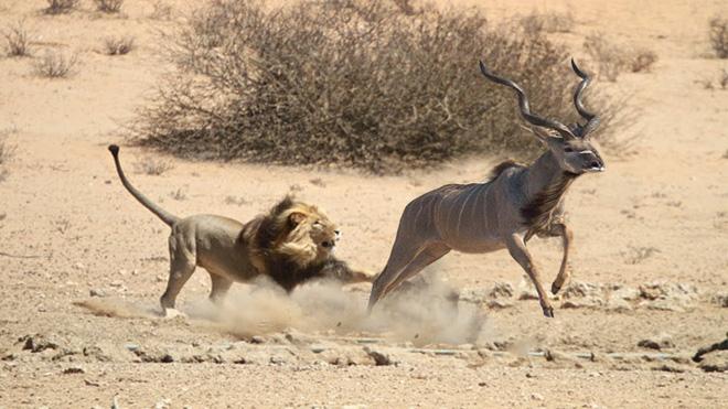 Sư tử đực chấp nhận mất mặt, dùng đòn xấu để hạ sát con mồi - Ảnh 1.