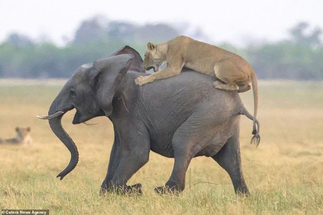 Sư tử cái liều lĩnh tấn công con mồi khổng lồ, đến phút cuối lại bị đuổi đánh thảm hại - Ảnh 2.