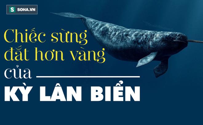 Bí mật chiếc ngà đắt hơn vàng của kỳ lân biển: 'Báu vật' bị săn lùng nhiều bậc nhất châu Âu