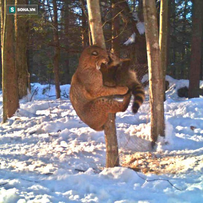 Linh miêu đen đủi gặp phải gấu mèo hung dữ, bị đánh đuổi lên tận ngọn cây cao - Ảnh 1.