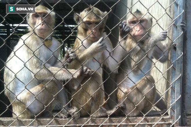 Thi nhau đi bắt khỉ vì bán được giá cao, bao người mất trắng cả gia sản chỉ sau 1 đêm - Ảnh 1.