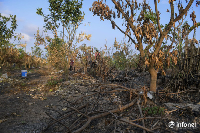 Hưng Yên: Người dân Khoái Châu khóc ròng khi vườn cây ăn quả bị kẻ gian đốt trộm - Ảnh 1.