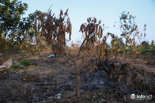 Hưng Yên: Người dân Khoái Châu khóc ròng khi vườn cây ăn quả bị kẻ gian đốt trộm - Ảnh 4.