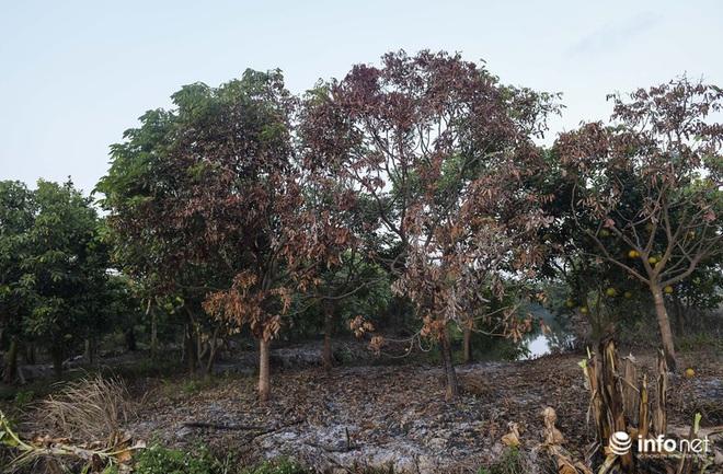 Hưng Yên: Người dân Khoái Châu khóc ròng khi vườn cây ăn quả bị kẻ gian đốt trộm - Ảnh 8.