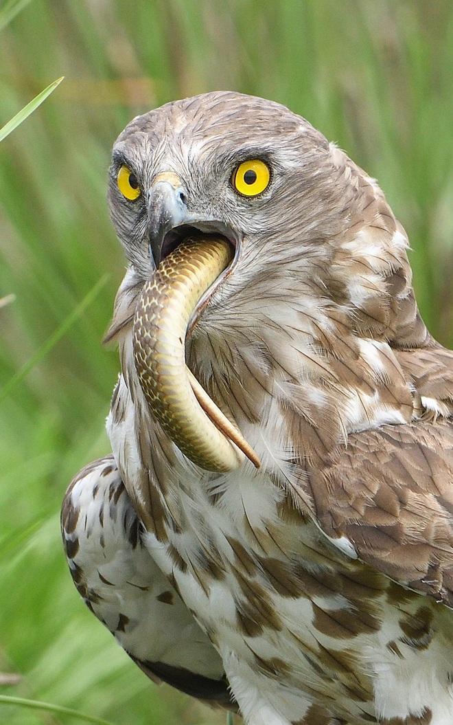 24h qua ảnh: Chim diều ngón ngắn nuốt chửng rắn hổ mang - ảnh 3