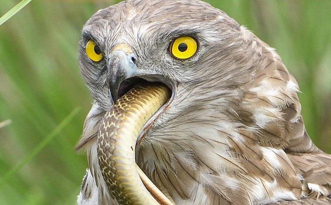 24h qua ảnh: Chim diều ngón ngắn nuốt chửng rắn hổ mang