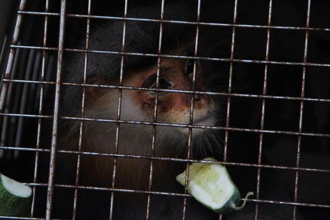 Động vật quý hiếm voọc chà vá chân xám được mua giá 1 triệu đồng trên mạng xã hội - Ảnh 1.