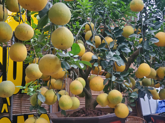 Ngắm vườn bưởi cảnh chơi Tết bạc tỷ ở Hà Nội, 40 triệu đồng/cây 120 quả - Ảnh 9.