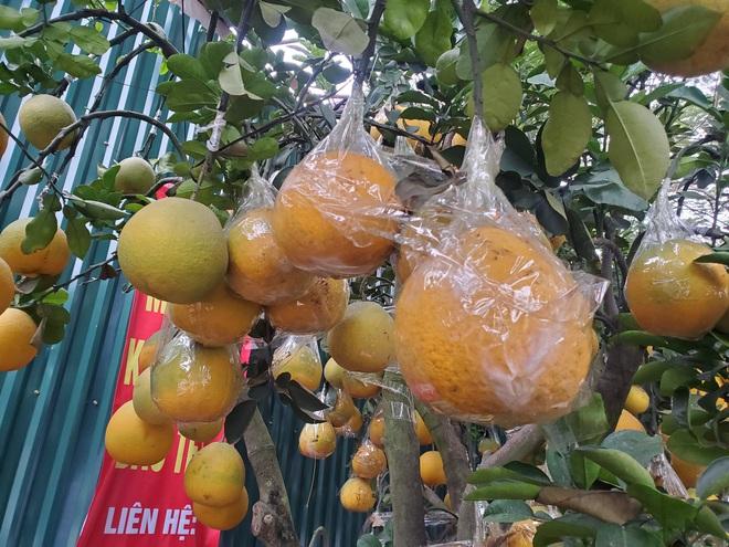 Ngắm vườn bưởi cảnh chơi Tết bạc tỷ ở Hà Nội, 40 triệu đồng/cây 120 quả - Ảnh 10.